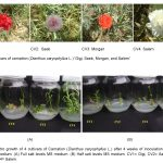 cultivors of carnation